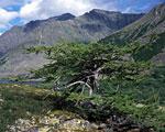 Одинокая лиственница в долине реки Кобыла-Ю летом