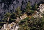 Сосны на северо-восточных обрывах Демерджи-Яйлы.